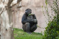 Frank the Silverback Gorilla. (LisaDiazPhotos) Tags: frank silverback gorilla lisadiazphotos sdzsafaripark sdzoo sdzsp sandiegozoo sandiegozooglobal sandiegozoosafaripark