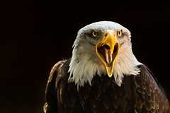 last thing you see (jeff.white18) Tags: baldeagle eagle birdofprey bird preditor beak feathers portrait nature nikon eyes flickr