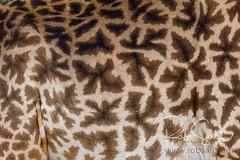 Masai Giraffe (robsall) Tags: 14xiiitc 14xtc 2016 50014x 7dmark2 7dmarkii 7dm2 7dmii africa africatourism africawildlifephotography africanwildlife canon canon500mmf4lisiiusm14xiii canon500mmf414x canon500mmf4ii14xiii canon7dmark2 canon7dmarkii canon7d2 canon7dm2 canoneos canoneos7dmark2 canoneos7dm2 family giraffacamelopardalistippelskirchi giraffe giraffes kilimanjarogiraffe mammal masaigiraffe masaigiraffes robsallaeiral robsalldrone robsalldronephotography robsallphotography robsallwildlifephotography tanzania tanzania2016 teleconverter textures vacation manyararegion