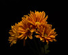 Orange Daisy Arch 1106 (Tjerger) Tags: nature flower flowers bloom blooms blooming daisy daisies plant natural flora floral blackbackground portrait beautiful beauty black orange fall wisconsin macro closeup yellow group bunch arch