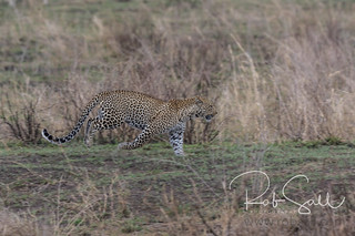 Leopard on the move with Troop of Babboons in Chase