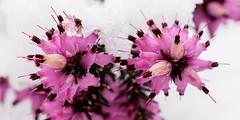 Dans le froid - (Noir et Blanc 19) Tags: neige hiver glace plante bruyère nature macro sony a77