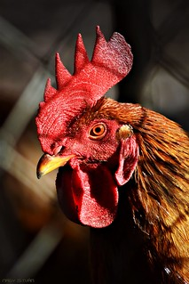 Red Rooster Portrait #3