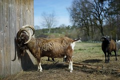 Peepshow (BphotoR) Tags: ramgoat ziegenbock spring germany animal bphotor peepshow bock sun frühling shy