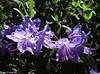 Rododendro captado en Madrid. (Caty V. mazarias antoranz) Tags: nature naturaleza flores flowers multicolor colorido colores primavera verdor espectáculonatural sorprendente asombroso mágico luminoso rododendro floresmoradas estambres pistilos polen rhododendron purpleflowers stamens pistils pollen