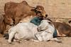 Satisfied Holy Cows in Jaisalmer (shapeshift) Tags: cows nikon d5600 50mm humansandanimals peopleandanimals candidportrait cityanimals urbananimals davidphamsf shapeshiftnet shapeshift streetphotography holycows mandirpalace jaisalmer rajasthan india in