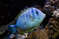 blau ([-ChristiaN-]) Tags: blue fish fisch aquarium underwater unterwasser sea blau wasser water colorful bunt