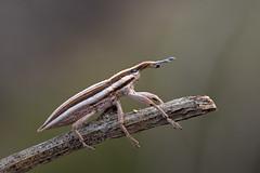 Gorgojo (Chusmaki) Tags: gorgojo insectos macro primavera pequeño ngc