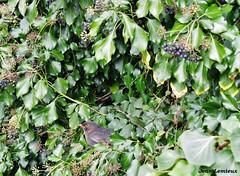 Poitiers - Belvédère des Dunes (JeanLemieux91) Tags: hiver winter invierno février february febrero poitoucharentes poitiers france europe leaves feuilles ave oiseau bird fruit frutas