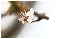 Tombée du ciel ;-( (Jean-Marie Lison) Tags: eos80d bruxelles molenbeek scheutbos fleur blanc macro