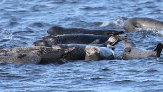 Harbor Seals of Sandy Hook