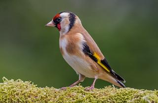 DSC3938  Goldfinch..
