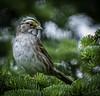 White-throated Sparrow-4942 (peter57117) Tags: sparrow whitethoatedsparrowwhitemorph bird zonotrichiaalbicollis birds