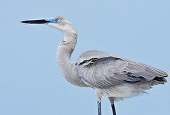 Herman the Hybrid (dina j) Tags: floridawildlife floridabird florida bird wildlife egret heron greatblueheron greategret hybridbird waterbird fortdesoto nature fishingpier hybrid