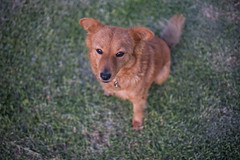 Khaleesi (Rushay) Tags: animal browndog canine dog grahamstown pet sittingdog southafrica grass