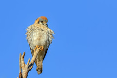 American Kestrel (gilamonster8) Tags: american kestrel bird perched sky stick view canon eos 7dmarkii ef400mm56l falcon hawk animal arizona tucson tail talons tree twig ngc flickrelite lake lakesidepark explore explored wing feather eyeball desert common raptor gray blue beak brown black branch park