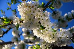 VALLE DEL JERTE (RLuna (Charo de la Torre)) Tags: españa extremadura jerte valledeljerte cerezos primavera cerezosenflor naturaleza airelibre outdoor vegetación paisaje landscape photo canon ecoturismo rural medioambiente rluna rluna1982