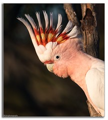 The Major Star... (Mykel46) Tags: major mitchell's cockatoo nature wildlife sony a9 100400mm pink red cocky