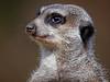 Erdmännchen - meerkat (Rolf Piepenbring) Tags: meerkat erdmännchen