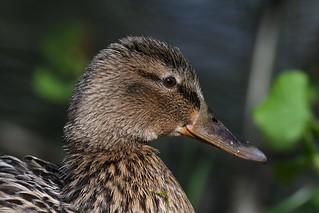 Cane colvert - Anas platyrhynchos - Mallard (female)