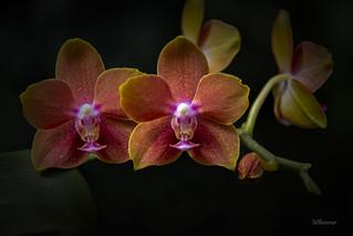 Phalaenopsis Ever Spring Prince