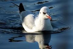 Seagull (Prilla 4.0) Tags: seagull gabbiano ucc bird birds animal animale fiume river white canonsx540