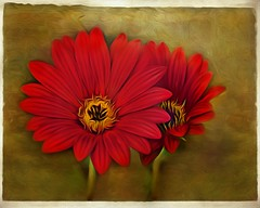When in doubt, make a red painting (Christina's World-) Tags: artistic red flowers nature painterly textures yellow gold