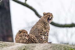 Two young cheetahs (Tambako the Jaguar) Tags: cheetah big wild cat two together siblings posing rock stone tree branch sky yawning portrait openmouth basel zoo zolli switzerland nikon d5