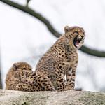 Two young cheetahs thumbnail