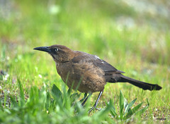Great-tailed Grackle (miketabak) Tags: