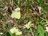 Flying Brimstone and Primroses (dougskik) Tags: primrose primula vulgaris bbowt buckinghamshire wildflower springtime brimstone butterfly