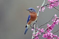 Eastern Bluebird (Alan Gutsell) Tags: bird houston texasbirds texas migration spring alan wildlife nature eastern bluebird easternbluebird bearcreekpark songbird