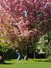 Cherryblossomchick (.Dirk) Tags: berlin olympusep5 mzuiko7518 street people kirschblüte cherryblossom mft m43 prime schöneberg spring frühling fussohlensonnenbrand
