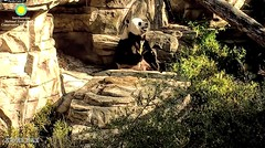2018_04-20l (gkoo19681) Tags: tiantian dabigguy sohandsome proudpapa adorableears fuzzywuzzy treattime sugarcane soyummy sohappy toofers sunkissed toocute precious amazing meltinghearts twohanded cooldude youngatheart majestic comfy ccncby nationalzoo