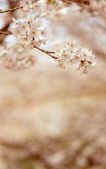 Sakura (Alice_argentique) Tags: filmisnotdead filmisalive filmphotography filmcamera fujichrome canon canoneos300 nofilter slidefilm sensia100 expiredfilm