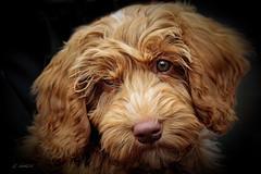 NYJOSKA 12 wks. old (m) (K.Verhulst) Tags: labradoedel labradoodle nyjoska dog pet hond huisdier
