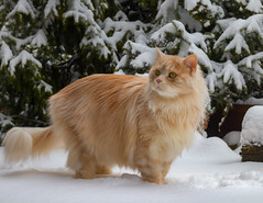 What happened to Spring ??? (FocusPocus Photography) Tags: linus katze kater cat chat gato tier animal haustier pet schnee snow winter garten garden
