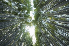 Bamboo Forest (fredMin) Tags: rising nature bamboo travel trunk green kyoto japan asia fujifilm xt1 1024