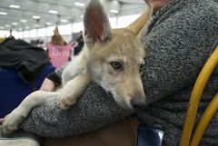 DSC_0058 (alessandromacis1) Tags: wolf puppy enci cirn puppywolf lupo