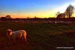 beim Schafe zählen (grafenhans) Tags: sony alpha alpha68 a68 slt sigma 4056 1020 schafe schaf schafsherde abendsonne abendhimmel sonnenuntergang sonne sonnenstrahlen feld himmel grafenwald bottrop nrw natur landschaft licht light farben color