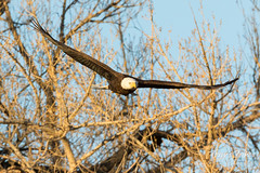 Bald Eagle launch in the morning light - 12 of 13