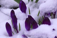 Hello Spring (iofdi) Tags: crocus snow spring flower