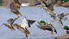 Mallards Lifting Off (david byng) Tags: 2018 beach winter vancouverisland pacificocean birds canada britishcolumbia esquimaltlagoon colwood