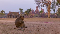 Monkey in Angkor Wat (qonebe) Tags: canon 6d travel asia voyage asie cambodge cambodia angkor jungle temple