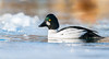 Male Goldeneye (rmikulec) Tags: common goldeneye wildlife animal wild nature bird birding