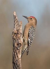 Gila Woodpecker male Elephant head pond az (mandokid1) Tags: canon canon500f4 1dx birds woodpeckers arizona