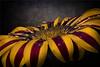 Diagonal (marcello.machelli) Tags: daisy margherita flower fiore yellow red rosso giallo macro sigma nikon focusstacking high resolution altarisoluzione highresolution hd nikond810 sigmaapomacro15028 nicefoto bank drops gocce