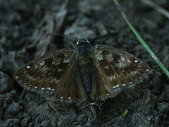Erynnis tages - Dingy skipper - Тагес (Cossus) Tags: 2015 erynnis hesperiidae pyrginae лишняги толстоголовка skipper