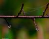 Two Raindrops (that_damn_duck) Tags: nikon nature rain raindrops waterdrops drops droplet treelimb