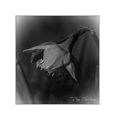 Daffodil (timgoodacre) Tags: daffodil spring flower flowers botanical nature stem stalk blackwhite blackandwhite monochrome mono